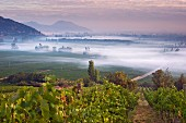 Early morning mist over vineyards of Haras de Pirque with Syrah vines in the foreground, Pirque, Maipo Valley, Chile. [Maipo Valley]