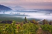 Frühnebel über den Weinbergen von Haras de Pirque mit Syrah Reben im Vordergrund, Pirque, Maipo Valley, Chile