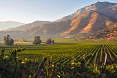 Morning light on Andes mountains seen from Chardonnay vineyard of Haras de Pirque, Maipo Valley, Chile. [Maipo Valley]