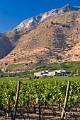 Cabernet Sauvignon Trauben im Weinberg von Haras de Pirque