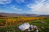 Vineyards of the Royal Tokaj Wine Company, Mád, Hungary. [Tokaj]