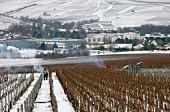 Rebschnitt im Premier-Cru-Vaillons-Weinberg oberhalb der Genossenschaftskellerei La Chablisienne in der Stadt Chablis, Yonne, Frankreich