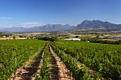 Fairview vineyards with the Franschhoek Mountains, Drakenstein and Simonsberg beyond. Paarl, Western Cape, South Africa. [Simonsberg-Paarl]