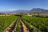 Fairview Weinberge mit den Franschhoek Bergen, Drakenstein und Simonsberg, Paarl, Western Cape, Südafrika