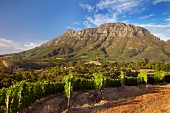 Thelema Mountain Vineyards with the Simonsberg beyond. Stellenbosch, Western Cape, South Africa. [Simonsberg-Stellenbosch]