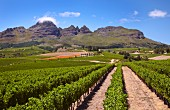 Cabernet Sauvignon vineyard of Ernie Els with the Helderberg mountain beyond. Stellenbosch, Western Cape, South Africa. [Stellenbosch]