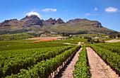 Cabernet Sauvignon Weinberg von Ernie Els vor dem Helderberg, Stellenbosch, Western Cape, Südafrika