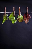 Various types of lettuce leaves on a washing line
