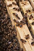 Bienen sitzen auf den Rahmen im Bienenstock