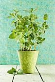 Fresh mint in a flowers pot