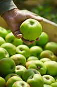 Mann prüft frisch gepflückten Apfel