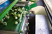 Brussels sprouts being harvested by machine
