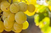 Green grapes on a vine with the sun in the background