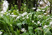 Flowering wild garlic in the open air