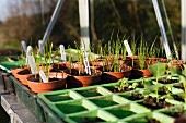 Vegetable plants in germination pots in a green house
