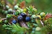 Mexican juniper (juniperus monticola)
