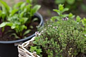 Thyme in a planting basket