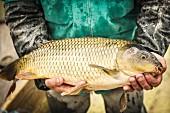 A man holding a freshly caught carp (Lake Neusiedl, Burgenland, Austria)