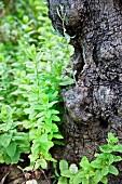 Wild mint growing on a tree stump