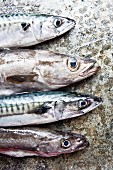 Freshly caught Cornish pollock and mackerel on a stone slab