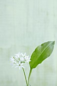 Flowering ramsons (wild garlic)