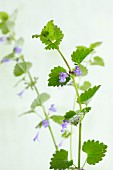 Flowering ground ivy