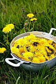 A bowl of freshly picked dandelion flowers in a field