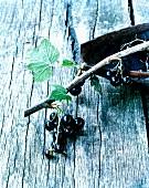 Twig of blackcurrants