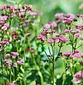 Great masterwort (astrantia carniolica 'Rubra')