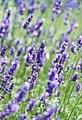 Flowering lavender (lavandula angustifolia)