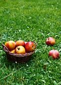Fresh apples in a basket in a field