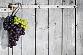 Various red and white grapes hanging on a hook in front of a grey wooden wall