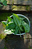 Freshly picked organic sorrel leaves in a colander on a stone floor