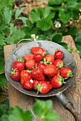 Elsanta strawberries in a metal sieve on a wooden stool in a strawberry field