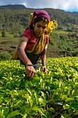 A young woman picking tea