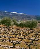 Weinlandschaft im Frühling mit Blick auf schneebedeckten Berggipfel
