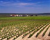 Weinberg mit sandigem Boden