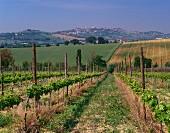 Weinberg mit Blick auf die Stadt Osimo, Italien