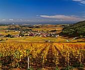 Chardonnay-Weinberg im Herbst