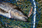 A freshly caught trout on a fishing net with a hook in its mouth