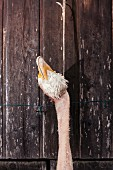 A dead goose hanging from a string against a rustic wooden wall