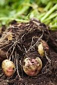 Fresh potatoes in a field