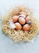 Brown chicken eggs in a nest