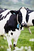 A dairy cow in a field, Dorset, England
