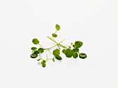 Watercress on a white surface