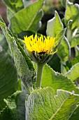Blühender Alant (Inula Helenium)