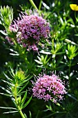 Flowering caucasian crosswort (phuopsis stylosa)