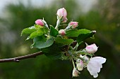 A sprig of apple blossom