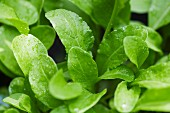 A close-up of young, freshly watered rocket plants