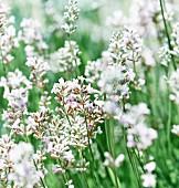 White lavender in a garden